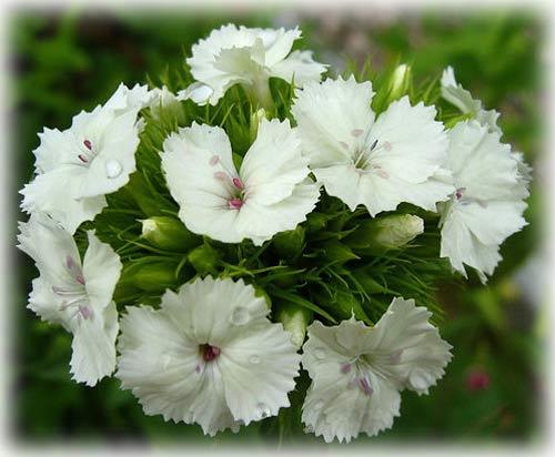 Hoa cẩm chướng, loài hoa biểu trượng cho ngày của mẹ